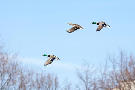 Anas platyrhynchos, Mallard. Wild bird in a natural habitat. Wildlife Photography. Stock Photo - 17301281