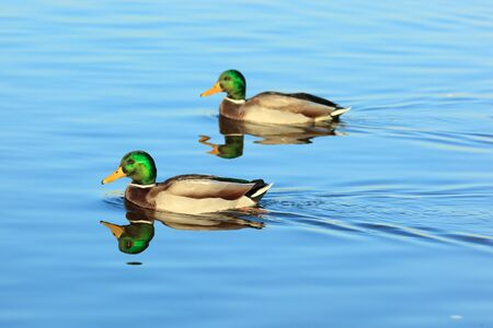 Anas platyrhynchos, Mallard. Wild bird in a natural habitat. Wildlife Photography. photo