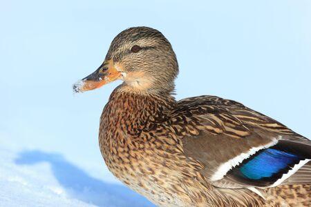 anas platyrhynchos: Anas platyrhynchos, Mallard. Wild bird in a natural habitat. Wildlife Photography.