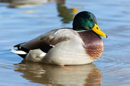 Anas platyrhynchos, Mallard. Wild bird in a natural habitat. Wildlife Photography. Stock Photo - 17301517