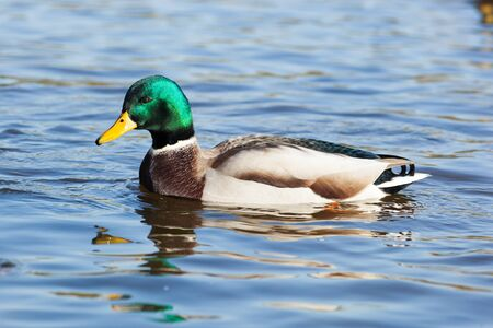Anas platyrhynchos, Mallard. Wild bird in a natural habitat. Wildlife Photography. Stock Photo - 17301449