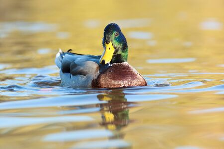 Anas platyrhynchos, Mallard. Wild bird in a natural habitat. Wildlife Photography. Stock Photo - 17301445
