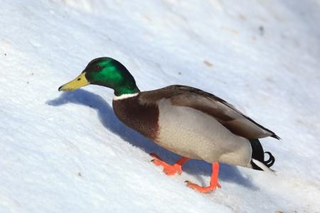Anas platyrhynchos, Mallard. Wild bird in a natural habitat. Wildlife Photography. Stock Photo - 17301348