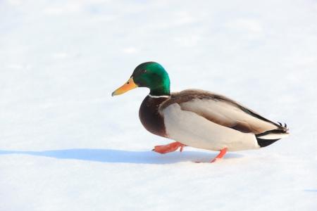 Anas platyrhynchos, Mallard. Wild bird in a natural habitat. Wildlife Photography. Stock Photo - 17301345