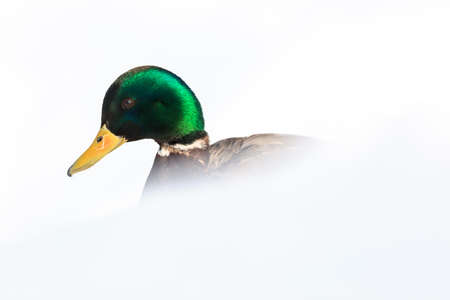 Anas platyrhynchos, Mallard. Wild bird in a natural habitat. Wildlife Photography. Stock Photo - 17301252