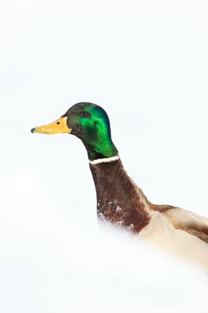 Anas platyrhynchos, Mallard. Wild bird in a natural habitat. Wildlife Photography. Stock Photo - 17301317