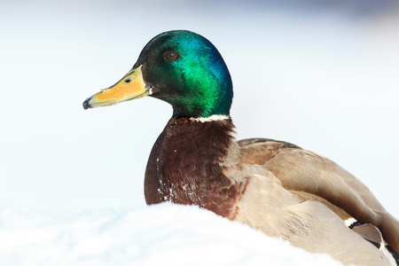 wildfowl: Anas platyrhynchos, Mallard. Wild bird in a natural habitat. Wildlife Photography.