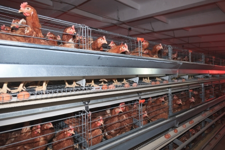 Poultry Farm. Industrial production of edible egg.