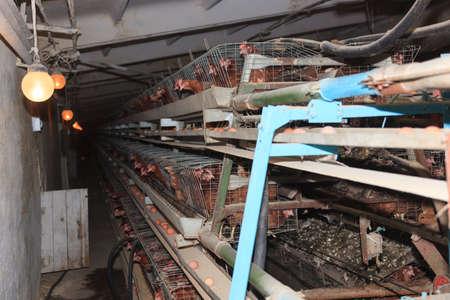 poultry farm: Poultry Farm. Industrial production of edible egg.