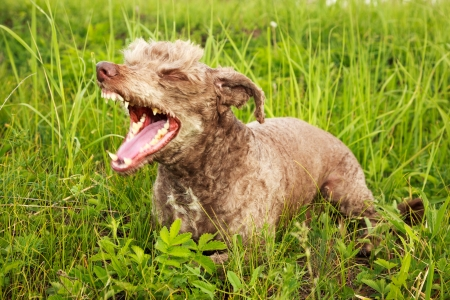 Domestic dog ​​ Lakeland terrier  with a collar