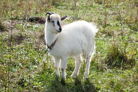 hircus: Capra aegagrus hircus. Home goat in field