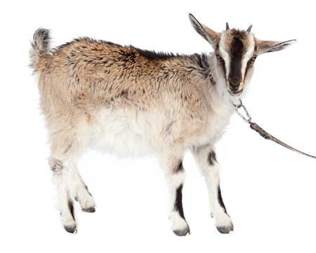 laughable: Goat on a white background. Stock Photo