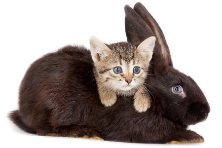 laughable: Friendship animals and pets  Kitten and Rabbit in studio isolated on white background