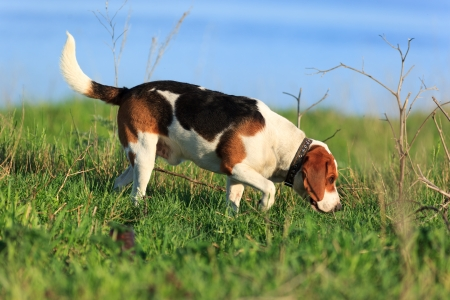 Scent hound outdoors executes commands Stock Photo - 25370243