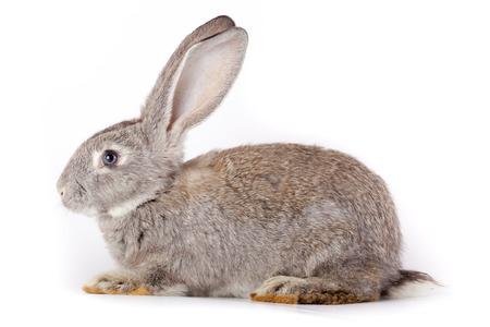 lapin blanc: Lapin domestique, il est isolé en studio sur un fond blanc.