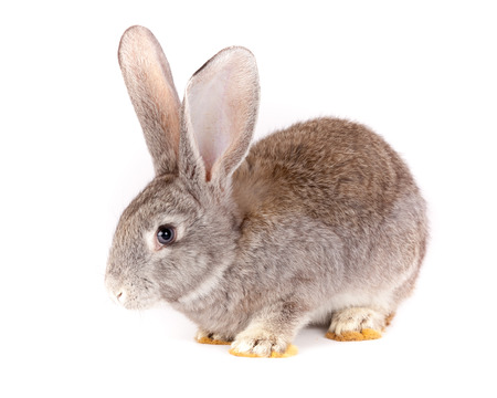 ludicrous: Domestic rabbit it is isolated in studio on a white background.
