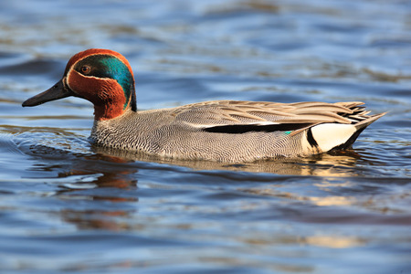 Anas crecca, Common Teal. The photo was taken in the Kandalaksha Gulf of the White Sea. Russia, Murmansk region. Island Lodeinoe. photo