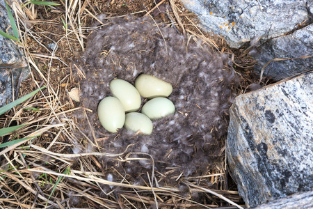 birdhousenest: Somateria molissima, Common Eider.  Nest of a bird with eggs in the nature. The photo was taken in the Kandalaksha Gulf of the White Sea. Russia, Murmansk region. Island Lodeinoe. Stock Photo