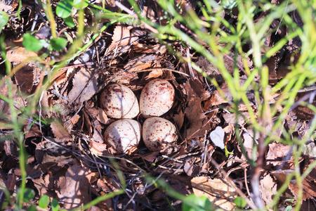 birdhousenest: Actitis hypoleucos, Common Sandpiper. The photo was taken in the Kandalaksha Gulf of the White Sea. Russia, Murmansk region. Island Lodeinoe. Stock Photo