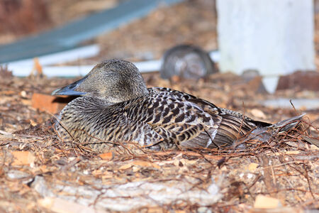 Somateria molissima, Nest of Common Eider.  The bird incubates its eggs in a nest.  The photo was taken in the Kandalaksha Gulf of the White Sea. Russia, Murmansk region. photo