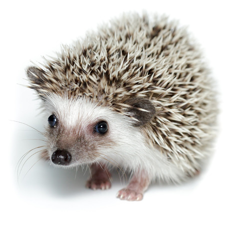 the descendant: Atelerix albiventris, African pygmy hedgehog. in front of white background, isolated. Stock Photo