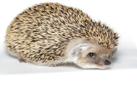 ludicrous: Hemiechinus auritus, Long-eared hedgehog in front of white background, isolated