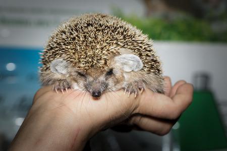 Hemiechinus auritus, Long-eared hedgehog like a pet. photo