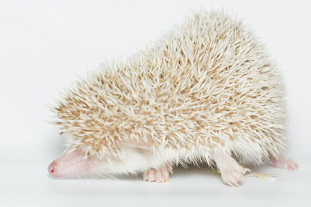 Atelerix albiventris, African pygmy hedgehog. in front of white background, isolated. photo