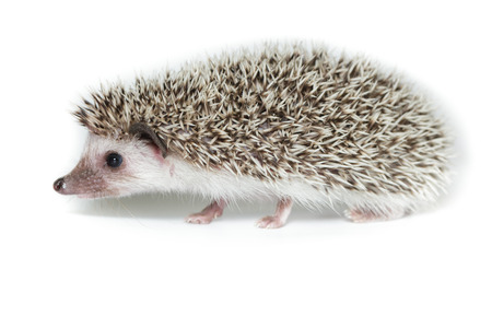 ludicrous: Atelerix albiventris, African pygmy hedgehog. in front of white background, isolated. Stock Photo