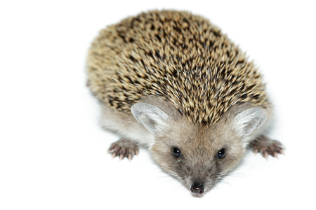 Hemiechinus auritus, Long-eared hedgehog in front of white background, isolated photo