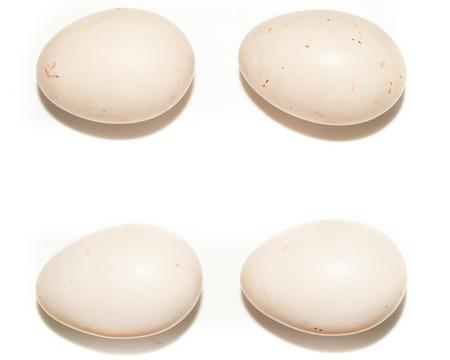 birdhousenest: Eggs Anas penelope, Eurasian Wigeon.