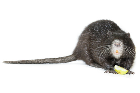 ludicrous: Myocastor coypus, Black Nutria breed as pets; in studio against a white background.