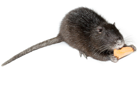 gnaw: Myocastor coypus, Black Nutria breed as pets; in studio against a white background.