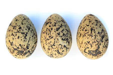 birdhousenest: Haematopus ostralegus, Eurasian Oystercatcher. Eggs. Stock Photo