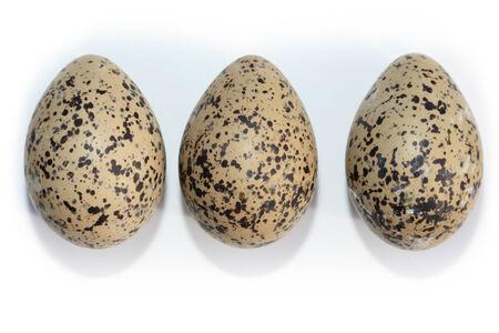 charadriiformes: Haematopus ostralegus, Eurasian Oystercatcher. Eggs. Stock Photo