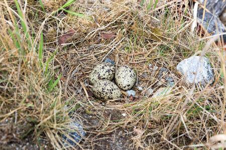 birdhousenest: Haematopus ostralegus, Eurasian Oystercatcher. Eggs and nest. Stock Photo