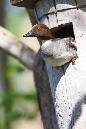 birdhousenest: Bucephala clangula, Common Goldeneye. The photo was taken in the Kandalaksha Gulf of the White Sea. Russia, Murmansk region. Island Lodeinoe.