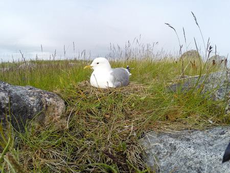 incubate: Nest of the Common Gull (Larus canus). The photo was taken in the Kandalaksha Gulf of the White Sea. Russia, Murmansk region. Island Lodeinoe.