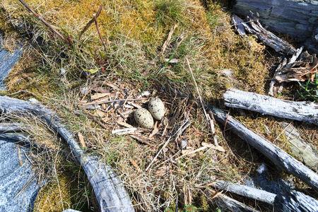birdhousenest: Nest of the Common Gull (likely). (Larus canus).  The photo was taken in the Kandalaksha Gulf of the White Sea. Russia, Murmansk region. Island Lodeinoe.