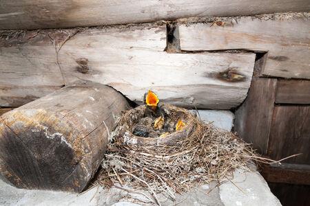 birdhousenest: Nest of the Fieldfare (Turdus pilaris).  The photo was taken in the Kandalaksha Gulf of the White Sea. Russia, Murmansk region. Stock Photo