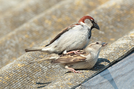passer    by: House Sparrow (Passer domesticus) is in the nature. Russia. Stock Photo