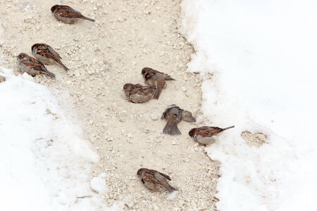 domesticus: House Sparrow (Passer domesticus) is in the nature. Russia. Stock Photo