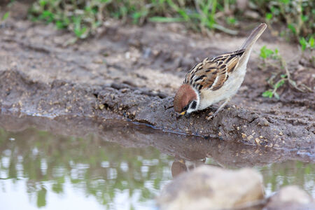 thirsty bird: Tree Sparrow (Passer montanus) is in the nature. Russia