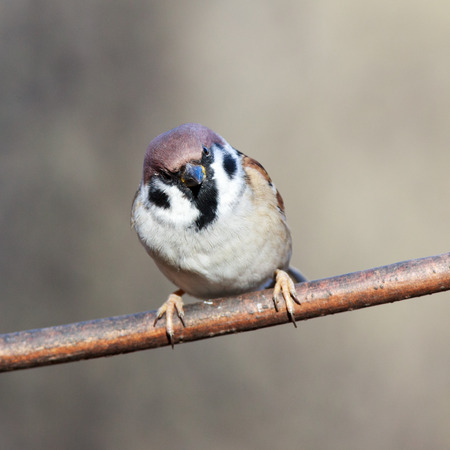 roost: Tree Sparrow (Passer montanus) is in the nature. Russia