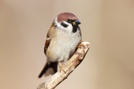 passer by: Tree Sparrow (Passer montanus) is in the nature. Russia