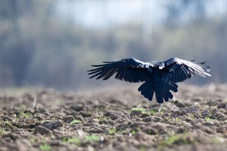 corvidae: Corvus corax, Common Raven is in the Nature Stock Photo