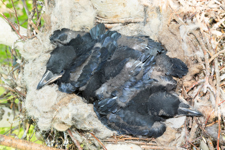 corax: Nest of the Corvus corax, Common Raven in the Nature Stock Photo