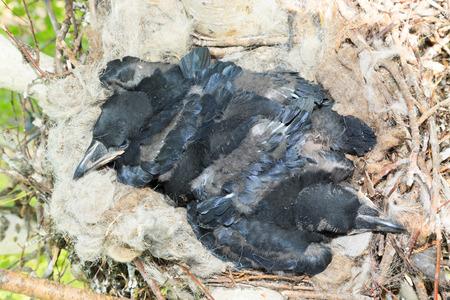 corvidae: Nest of the Corvus corax, Common Raven in the Nature Stock Photo