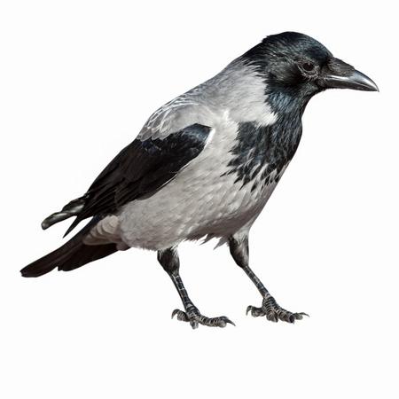 corvidae: Corvus cornix, Hooded Crow is in the nature.