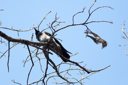 Corvus cornix, Hooded Crow is in the nature. photo